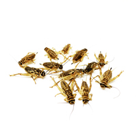 Bulk Order Crickets Shipped Overnight Wholesale