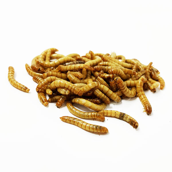 500 Medium Mealworms MMEAL003