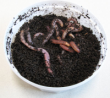 redworms large, 1.3 gram, 26 to 30 per cup Special 30red