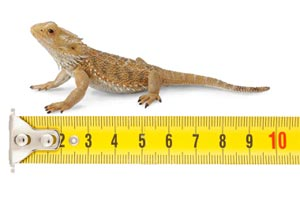 Bearded Dragon Measurement