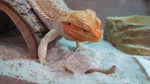 Superworm Bearded Dragon
